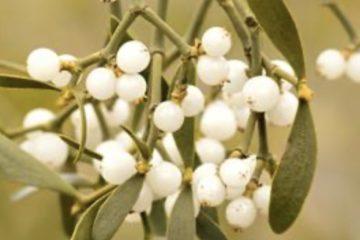 Misteltein med sine hvite klisne bær.
