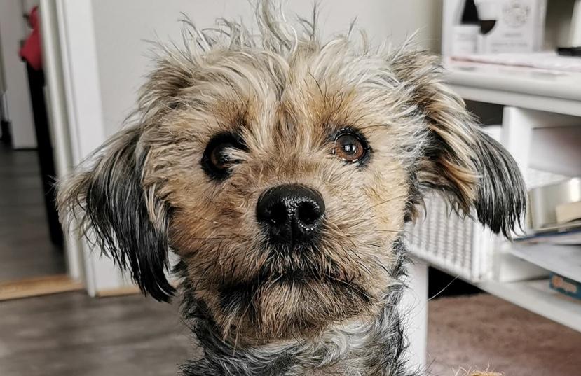 Jeg elsker Jack Russel Terrier hunder hjerte og poter
