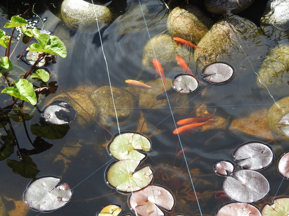 Gullfisk i hagedammen